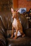 Собака фараона красивая на стене предпосылки Стоковые Изображения RF