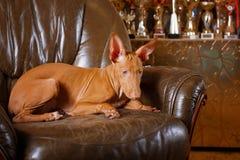 Собака фараона красивая на стене предпосылки Стоковая Фотография