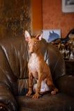 Собака фараона красивая на стене предпосылки Стоковое Изображение RF