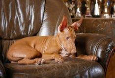 Собака фараона красивая на стене предпосылки Стоковая Фотография RF
