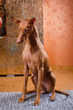 Собака фараона красивая на стене предпосылки Стоковое фото RF