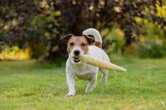 Собака фермы носит удар свежей сладостной мозоли на солнечный летний день Стоковое Изображение RF