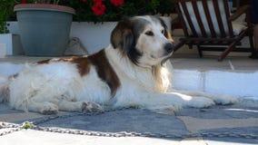 собака франтовская Стоковые Изображения RF