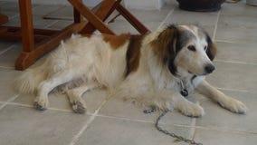 собака франтовская Стоковое Изображение