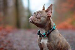 Собака французского бульдога сирени brindle женская со светлым - янтарные глаза нося красивый сплетенный воротник перед расплывча стоковое изображение rf