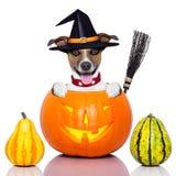 Собака хеллоуина как ведьма Стоковые Изображения RF