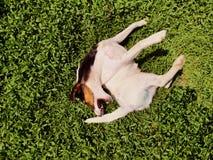 Собака царапая его назад стоковая фотография