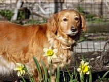 собака цветет весна дома Стоковые Фотографии RF