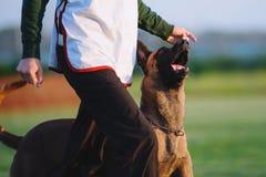 Собака чабана любимой породы собаки бельгийская в конкуренциях стоковое фото