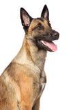 Собака чабана Malinois бельгийца Стоковое Изображение RF