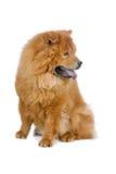 собака чау-чау Стоковое Изображение