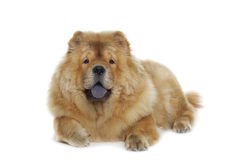 Собака чау-чау Стоковая Фотография