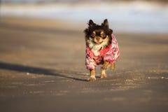 Собака чихуахуа бежать на пляже Стоковая Фотография