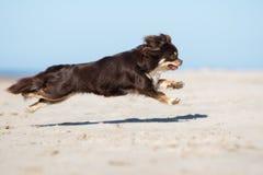 Собака чихуахуа Брайна бежать на пляже Стоковая Фотография