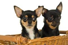 Собака чихуахуа взрослого 2 сидя в корзине Стоковые Фото