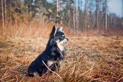 Собака чихуахуа в парке стоковая фотография