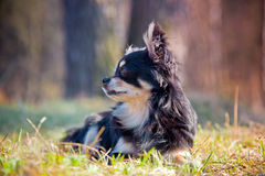 Собака чихуахуа в парке стоковое фото rf