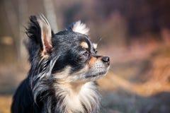 Собака чихуахуа в парке стоковое фото