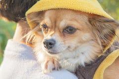 Собака чихуахуа в солнце утра стоковые фото
