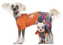 собака чихуахуа китайская crested одетьла стоковые фотографии rf