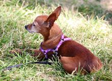 Собака чихуахуа кладя в зеленую траву на парке в Miami Beach Стоковое фото RF