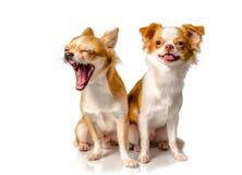 Собака 2 чихуахуа коричневая с белой предпосылкой Стоковая Фотография