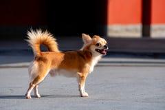 Собака чихуахуа, коричневый мужчина стоковая фотография