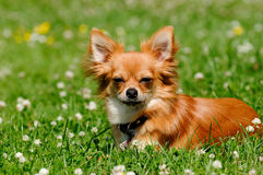 Собака чихуахуа на зеленой траве Стоковые Изображения RF
