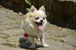 Собака чихуахуа на тропе Стоковое Изображение
