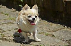 Собака чихуахуа на тропе Стоковые Изображения