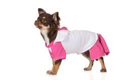 Собака чихуахуа нося платье стоковое изображение rf