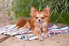 собака чихуахуа пляжа ослабляя Стоковые Фотографии RF