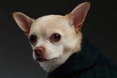Собака чихуахуа портрета крупного плана в стильных одеждах background card congratulation invitation Стоковые Фото