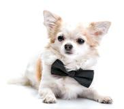 Собака чихуахуа при черная бабочка изолированная на белой предпосылке Стоковое Изображение