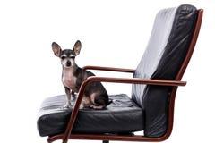 Собака чихуахуа сидя на стуле и смотря камеру Стоковая Фотография RF
