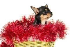 Собака чихуахуа сидя в корзине Стоковая Фотография RF