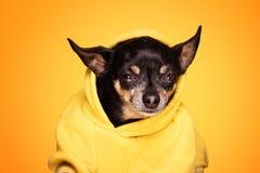 Собака чихуахуа смотря камеру Стоковые Изображения RF