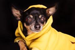 Собака чихуахуа смотря камеру Стоковая Фотография RF