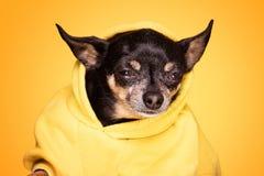 Собака чихуахуа смотря камеру Стоковое Изображение