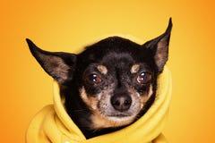 Собака чихуахуа смотря камеру Стоковое Фото