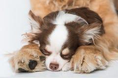 Собака чихуахуа спать между лапками на белой предпосылке стоковое изображение