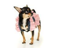 Собака чихуахуа стоя в изолированном платье стоковые изображения rf