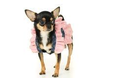 Собака чихуахуа стоя в платье стоковые изображения