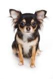 собака чихуахуа Стоковое Изображение RF