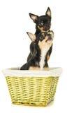 Собака 2 чихуахуа стоковое изображение