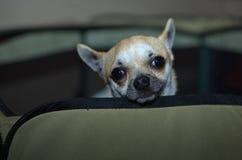 Собака чихуахуа Стоковые Изображения RF
