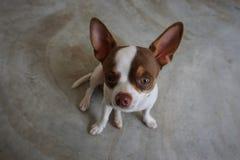 Собака чихуахуа Стоковое Фото