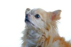 собака чихуахуа Стоковая Фотография