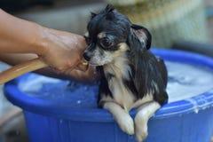 Собака чихуахуа Стоковое Изображение