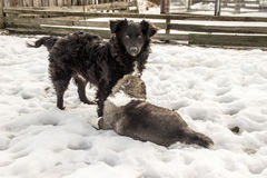 Собака шавки и кавказская собака чабана стоковые изображения